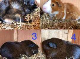 BOARS - Male Guinea Pigs
