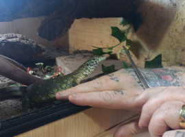 Young Nile monitor with 4ft set up semi tame when knows you eats from hand /tongs etc