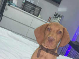 I am opening my waiting list for hungarian vizsla pups.