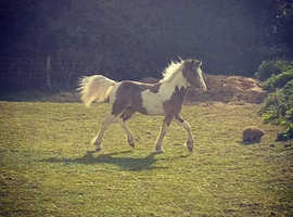 Buckskin Tobiano Yearling Colt