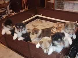 stunning rough collie puppies