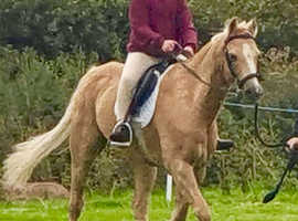12.3hh gelding for sale