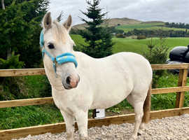 13HH For Sale Future PC /Childs/ Show Pony