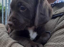 Chocolate spanador bitch puppy