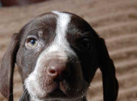 KC reg German Shorthaired Pointer Pups from Health tested Parents
