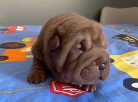 Kc reg Shar-pei puppies