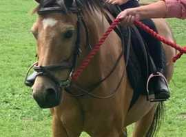 12.2 Welsh Dun Pony