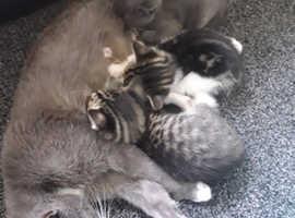 Maine coone x Bengal kittens