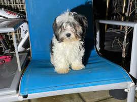 Beautiful Bishon X Biewer Terrier