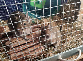 2 male degus with accessories