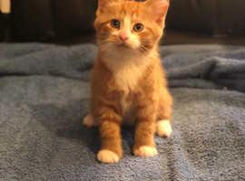 3 Cute Kittens Cat Ginger Tabby White
