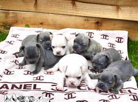 Isabella french bulldog puppies