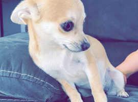 Cream fawn Chihuahua full breed