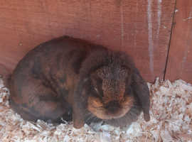 mini lop does with outdoor double hutch and 3 x male mini lops with indoor or outdoor hutches