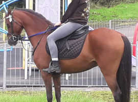 12 2hh fantastic all round pony