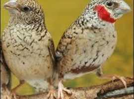 CUT THROAT FINCHES WANTED