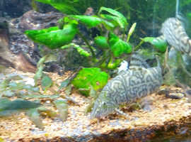 Yoyo / Pakistani loaches x6 adults for sale 1 year old