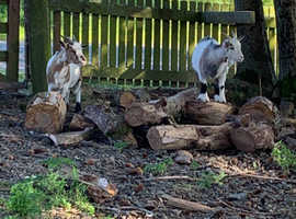 Pygmy goats x2 both female