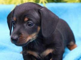 Stunning miniature dachshund puppies available