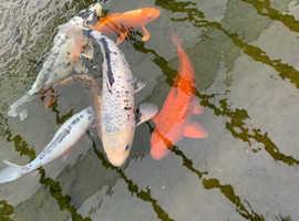 Large Koi carp