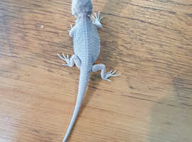 Bearded dragons For Sale & Rehome in Gwynedd | Find Lizards For Sale