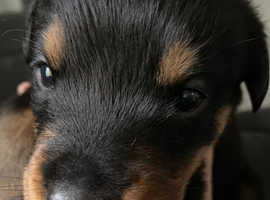 Chunky Rottweiler puppies