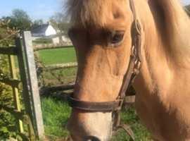 jackson dream pony 13.3 gelding