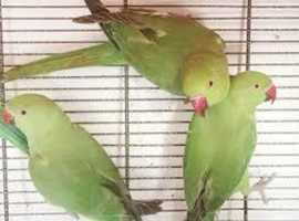 BABY RINGNECK PARROTS 16 WEEKS OLD MALES AND FAMALES