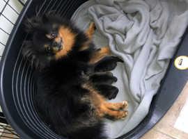 Pomeranian Puppy's For Sale !