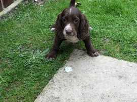 Find Dogs & Puppies For Sale in Carsington   Freeads