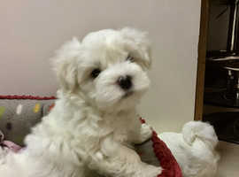 KC Registered Pedigree Maltese