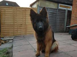 Top Long coat German shepherd pups for sale
