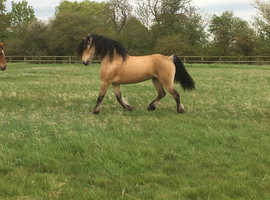Gorgeous 15hh, 7 year old welsh C x cob, gelding