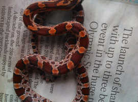 baby corn snakes for sale.