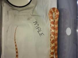 Amelanistic corn snakes male & female