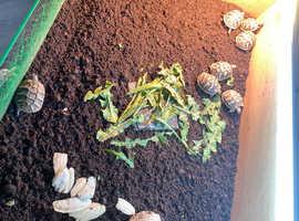 Herman's tortoises 2 left