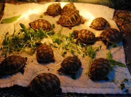 Mediterranean Hermans & Turkish Spur Thigh Baby Tortoise