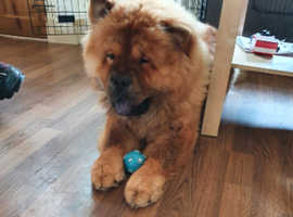 CHOW CHOW for sale at bargain price!!