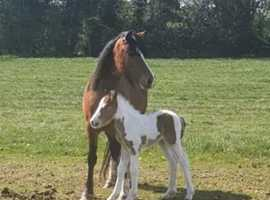 Looking for grazing for 4 ponys 1 foal