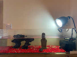 2 Musk Turtles & Complete Set Up