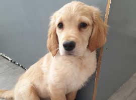 Golden retriever  1 puppy left