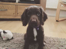 *WANTED* we are looking for a boy sprocker puppy if anyone has one???