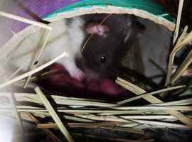Rat Pups/Kittens