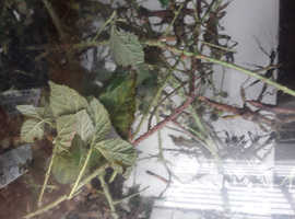 Spiney Black Stick Insects