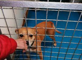 Staffie cross terrier seeking urgent foster home
