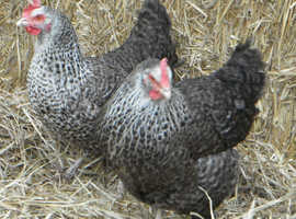 Speckled Pullets