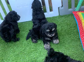 Ready Now Adorable curly coated Shihpoo pups  shihtzu X poodle