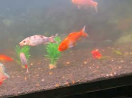 Japanese koi and goldfish