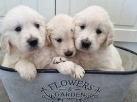 gorgeous white Golden Retriever puppies * Ready now*