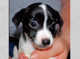 Full of fun Jack Russel Puppies
